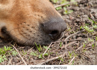 sniffing dog's nose in the ground close-up