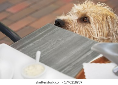 snoot of a light brown mongrel dog begging next to a dinner table on a terrasse