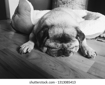 Snoozing senior pug