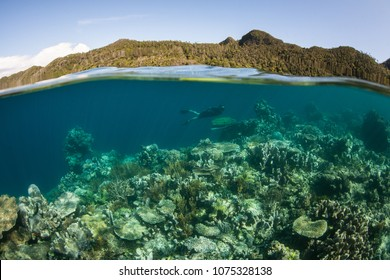A snorkeler explores a healthy coral reef growing in the shallows of Raja Ampat, Indonesia. This tropical region is known as the heart of the Coral Triangle due to its marine biodiversity.