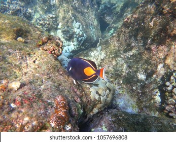 Snorkeling in Hawaii, Achilles tang (Acanthurus achilles)