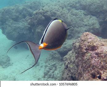 Snorkeling in Hawaii, Orange spine unicorn fish