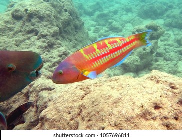 Snorkeling in Hawaii, Parrot fish and Christmas Wrasse swim together
