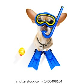Snorkeling scuba diving chihuahua dog  with mask and fins ,  isolated on white background