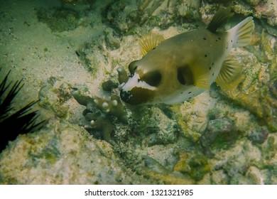 Snorkeling series. Box fish close up.