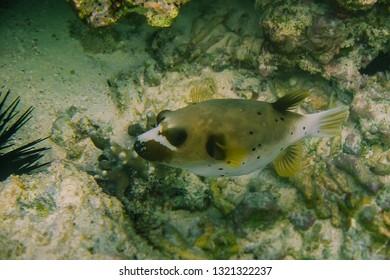 Snorkeling series. Boxfish close up.