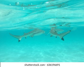 Snorkeling with sharks and stingrays at Moorea, Tahiti, French Polynesia