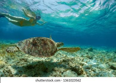 Snorkeling woman and sea turtle. Tourist activity snorkeling with turtles. Marine tortoise underwater photo. Human and animal undersea. Friendly wild animal of tropical seashore.