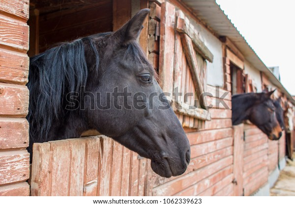 snout of a black horse standing in a wooden stall