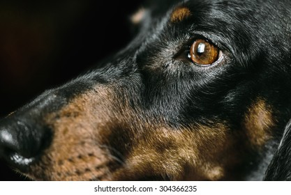 Snout of dachshund dog, nose and eyes. Close-up image