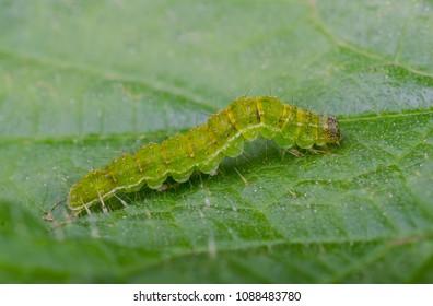 The Snout (Hypena proboscidalis) moth caterpillar. Sitting on a leaf.