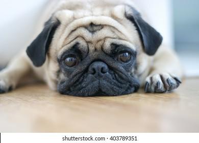 snout Pug Dog.Sleep rest on floor,close-up soft focus