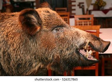 snout stuffed wild boar on the wall