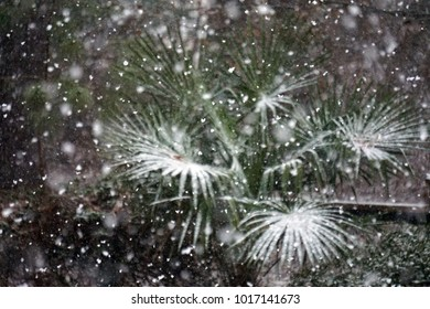 Snow Accumulating on Palm Tree Branches