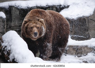 Snow Bear. Brown bear in snow. Horizontal format.