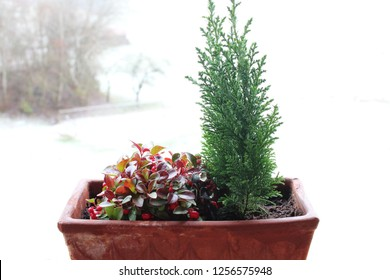 Snow berries and false cypress in a flower pot. Snowy winter landscape in the background, Allgäu, Bavaria.