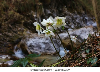 Snow blossom flowers with a river in the background