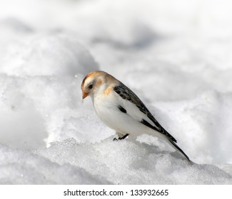 Snow Bunting looking for food.