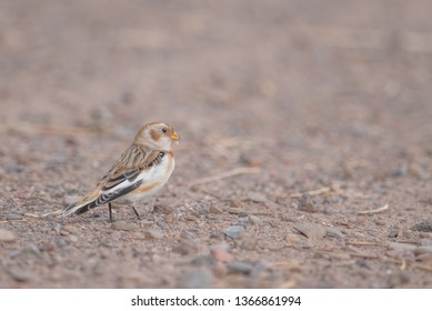 Snow bunting non-breeding female on dirt road in the winter in Crex Meadows Wildlife Area in Northern Wisconsin