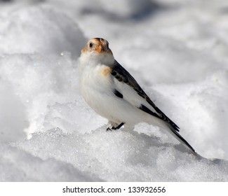 Snow Bunting  on the ground.