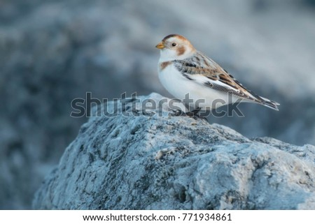 Snow Bunting standing on a rock.