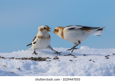 snow bunting in winter