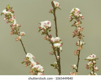 Snow Capped Flower Buds and Blossoms of Fruit Tree in Missouri