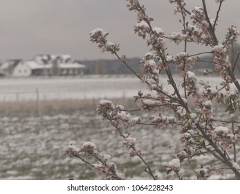 Snow Capped Fruit Tree with Blossoms in Missouri