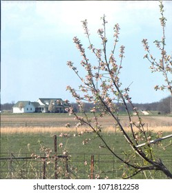 Snow Capped Fruit Tree in Early Spring with Farmhouse in the Background with Pasture