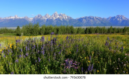 Snow Capped Grand Teton Mountain Range with Beautiful wild Flowers
