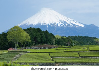 Snow capped Mt. Fuji and Japanese green tea field, Shizuoka, Japan