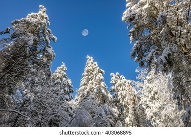 Snow capped pines, blue bird skies and waxing gibbous moon