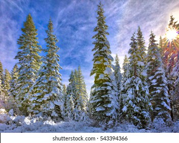 Snow capped Pines in California Sierra Nevada mountains.