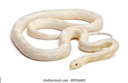 Red Rat Snake Images, Stock Photos & Vectors | Shutterstock
