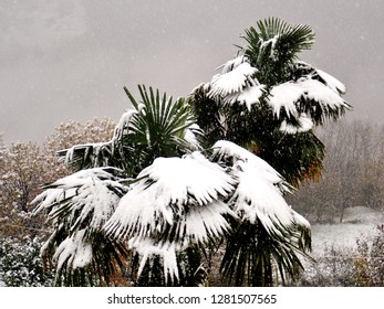 Snow Cover on a Palm Tree in the Rural Village of Loco in the Onsernone Valley, Ticino, Switzerland in Winter