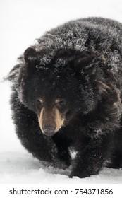 Snow Covered Black Bear running in Alaska