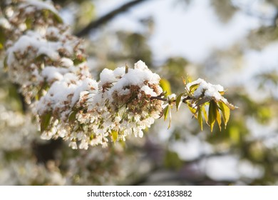 Snow covered cherry blossoms