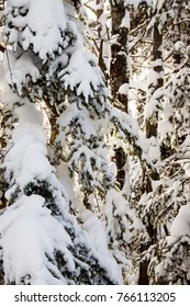 Snow covered coniferous trees