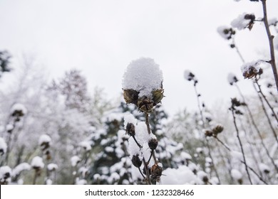Snow covered corn