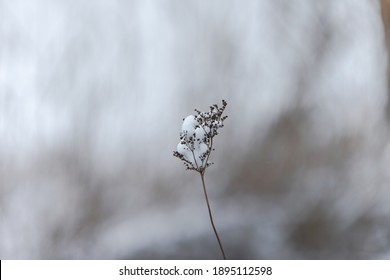 Snow covered dried remains of flower umbels in winter against blurred background