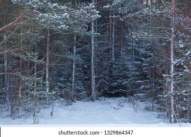 Snow covered edge of dense pine forest