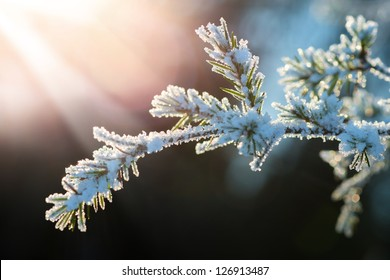 Snow covered Evergreen branch at sunset with frost during winter at sunset.