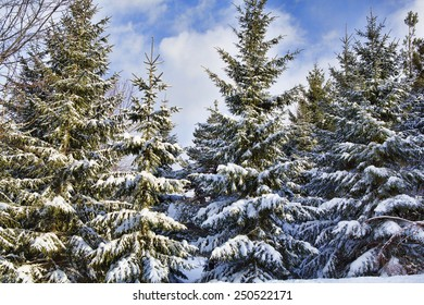 Snow covered evergreen trees the morning after a light snowstorm in Western New York
