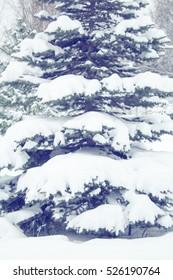 Snow covered fir tree,  winter landscape