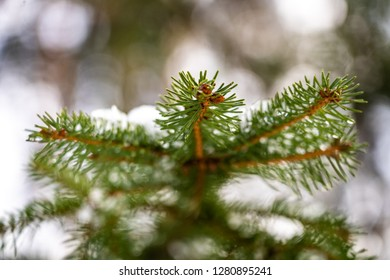 Snow covered fir trees in forest. Selective focus.