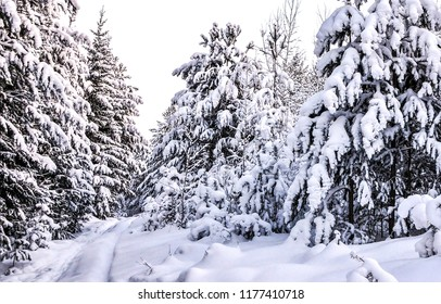 Snow covered fir trees in winter forest scene. Winter snow forest trees background. Winter snow covered trees in winter snow forest