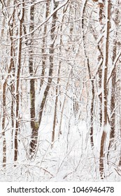 Snow Covered Forest in New England