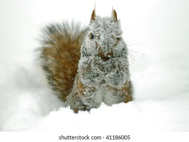 Snow Covered Gray Squirrel