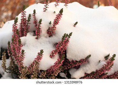 Snow covered heather