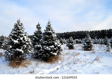 Snow covered landscape with Christmas trees growing
